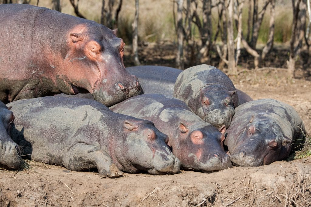 hippo facts and information st lucia south africa