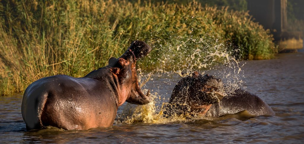 st lucia south africa hippos