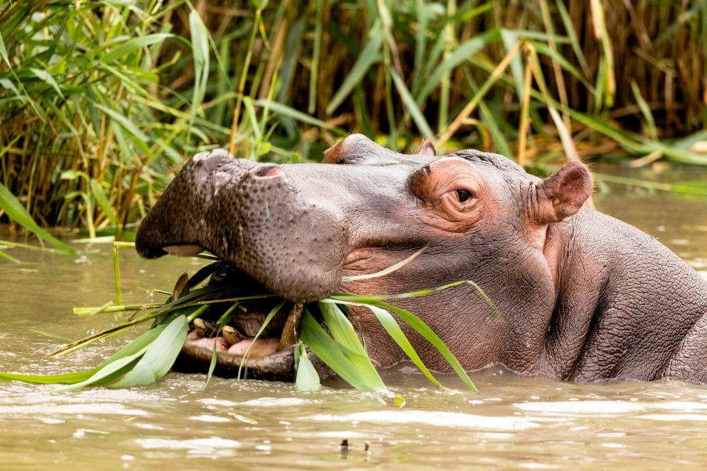 largest hippo population