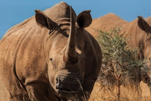 half day hluhluwe umfolozi safari