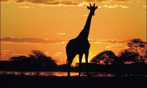 giraffe night drive safari