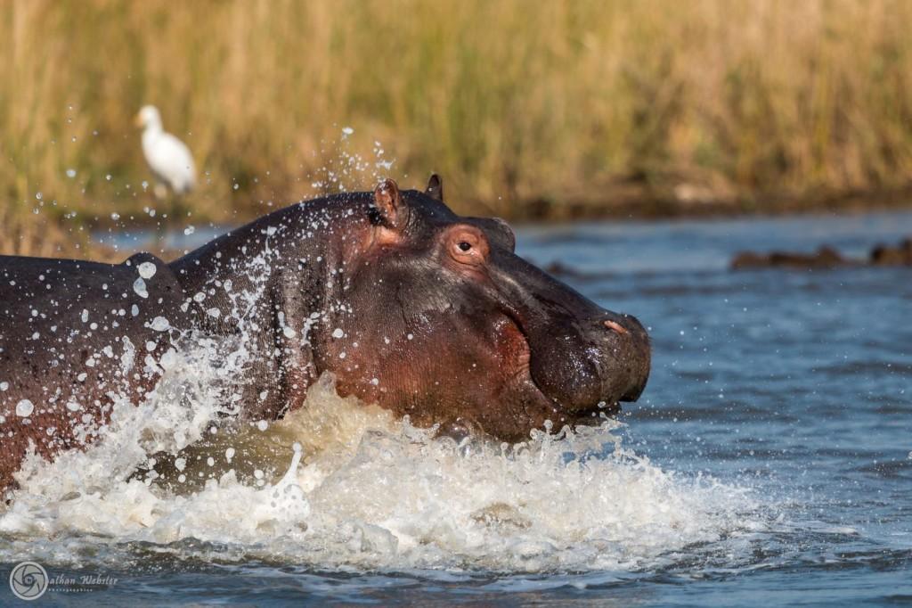 hippo tours st lucia
