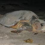 turtle tours st lucia loggerhead