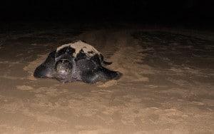 turtle leatherback