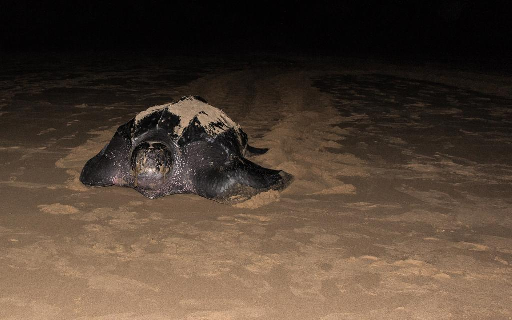 LeatherBack Turtle Facts