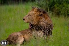Lions in Hluhluwe