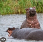 two hippos st lucia estuary