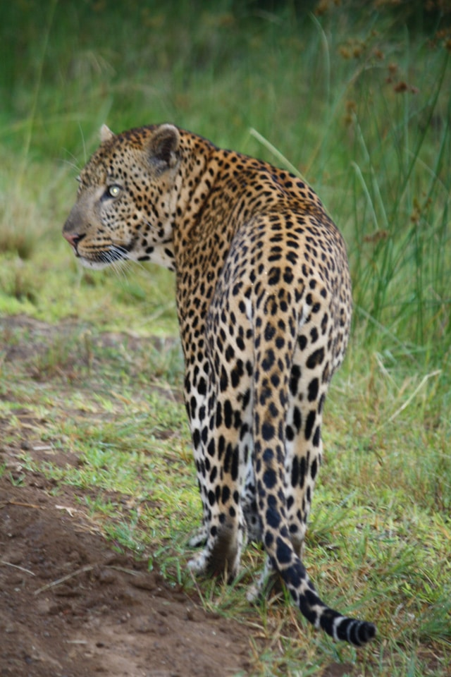 Western Shores Leopard after Leopard