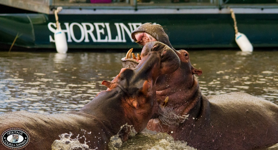 Hippos fighting st lucia