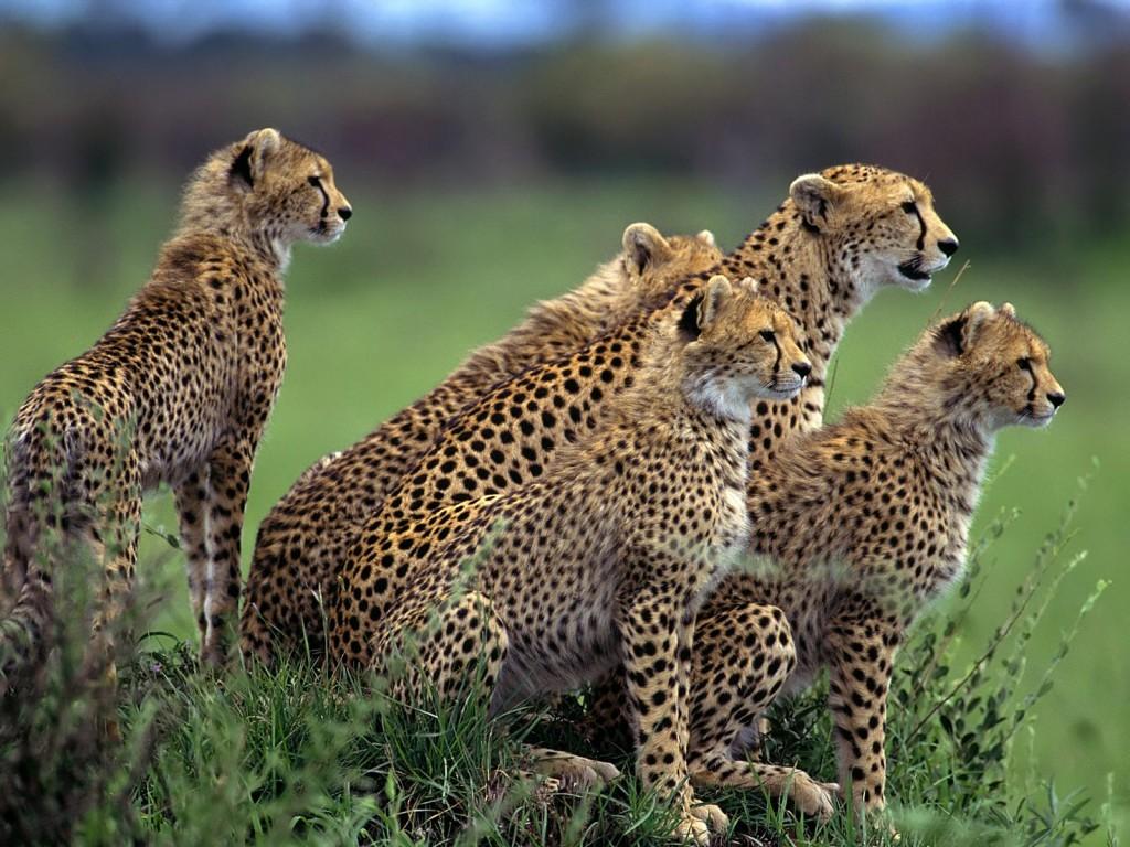 cheetah hluhluwe imfolozi