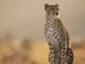 st lucia cheetah safaris