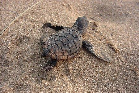 kosi bay Turtles
