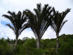 kosi bay raffia palm