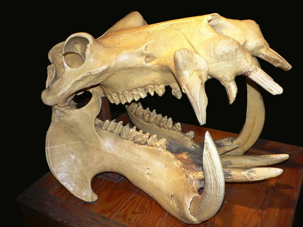 hippo skull depicting teeth