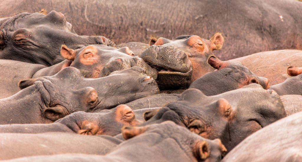 herd of hippos sleeping in water