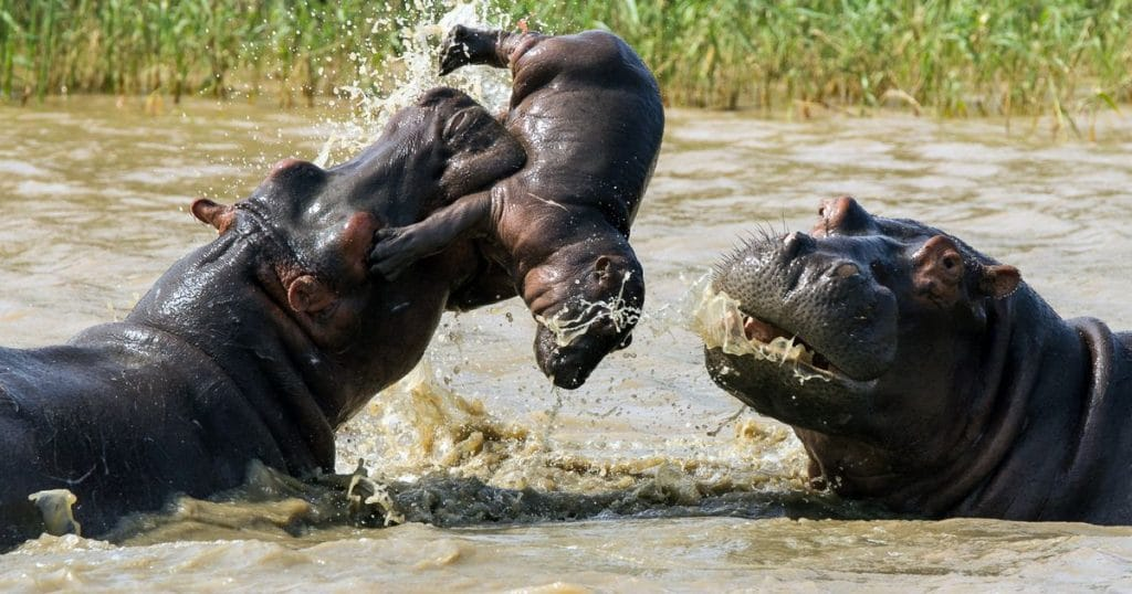 male kills baby hippo