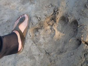 foot print hippo