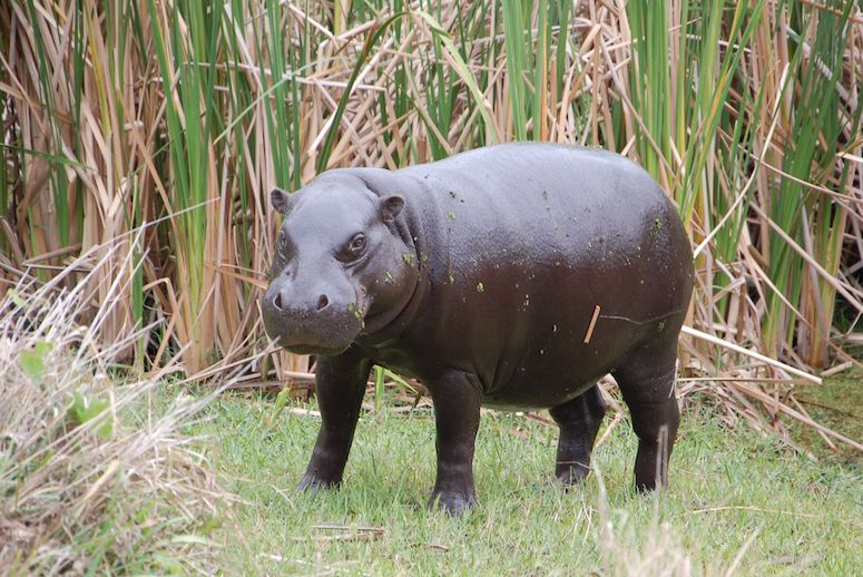 Hippo Facts, Information, Pictures & Vidoe's learn more ...