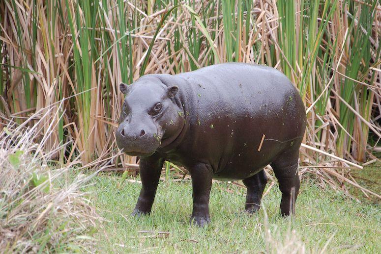 hippo facts pygmy hippo