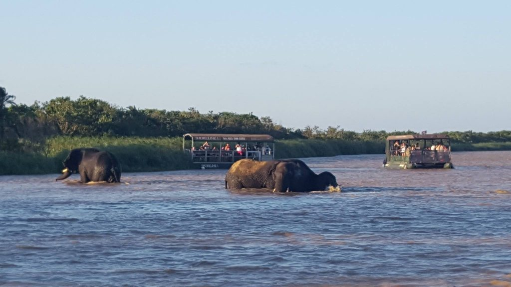 elephants in the st lucia estuary for the first time