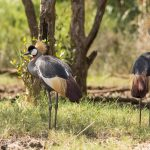 African Crowned Crane witnessed on the St Lucia Estuary Banks