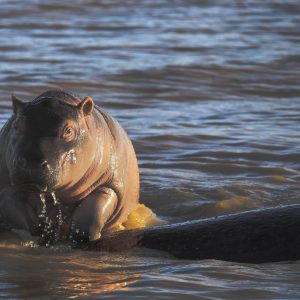 Why do New Born Hippos climb onto their Moms Backs