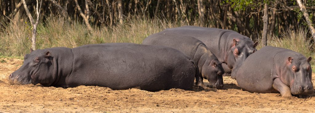 Hippos sleeping in the sun
