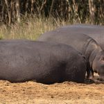 how long can a newborn hippo hold its breath