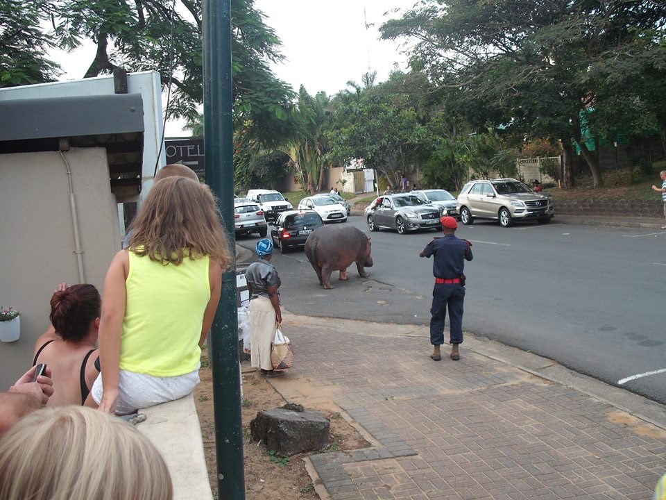 hippo in st lucia south africa main street