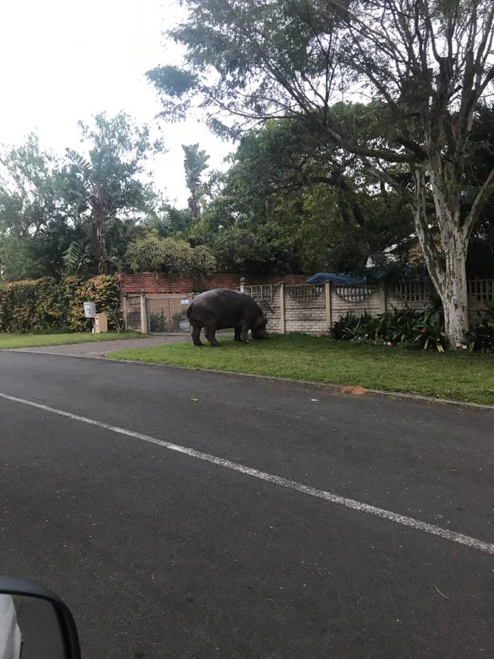 wondering hippos in st lucia day time residential area