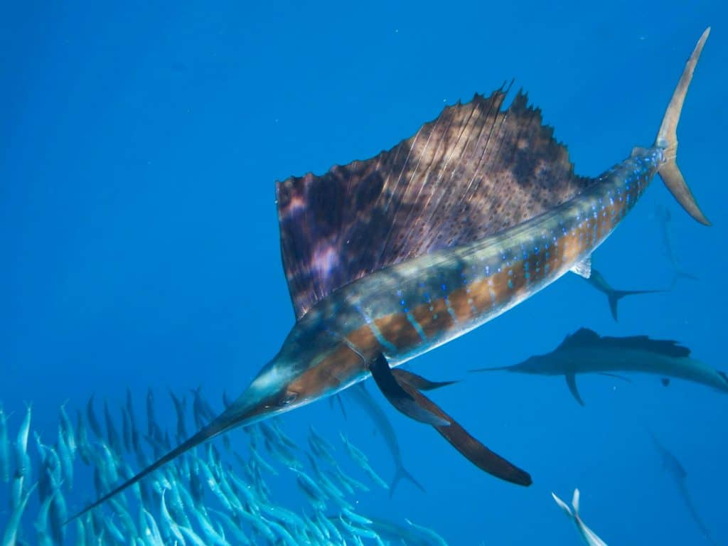 sailfish st lucia kwazulu natal