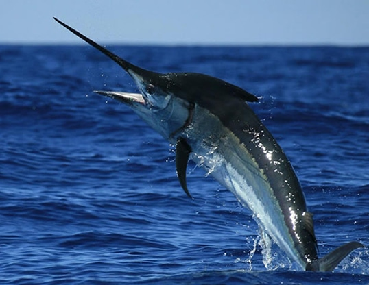 Black Marlin st lucia south africa