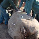 rhino with drugs adminitered