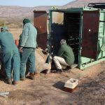 preparing rhino