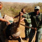 ezemvelo staff with white rhino