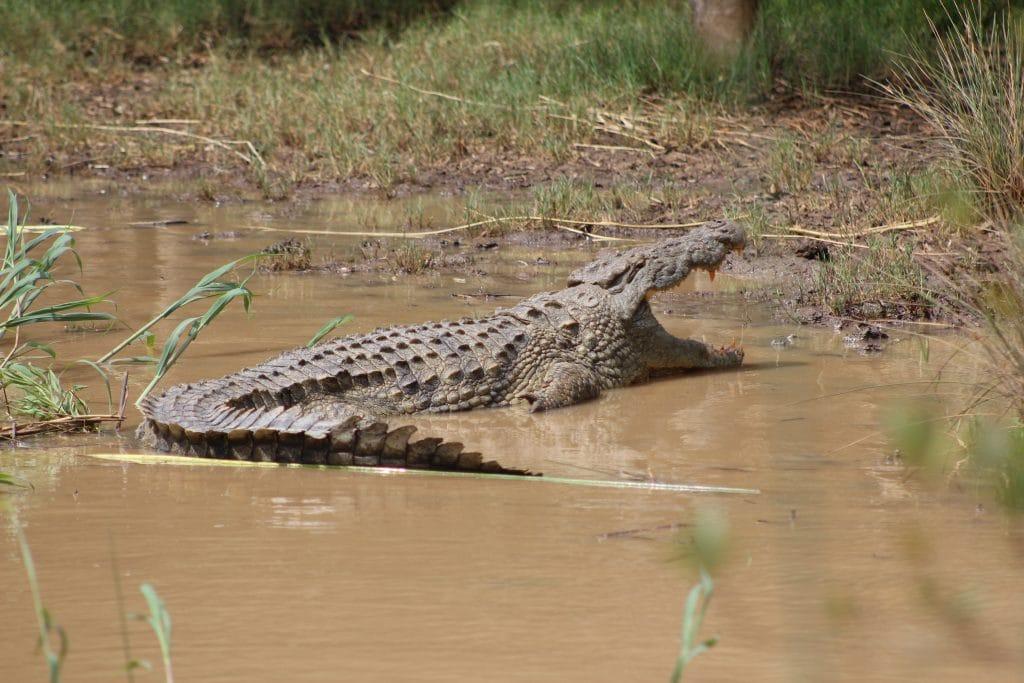 nile crocodile basking in sun