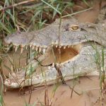 nile crocodile facts and information