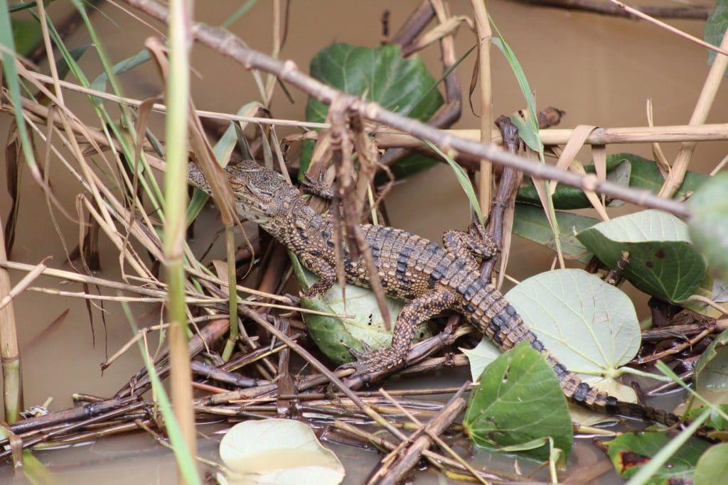 nile crocodile hatchling