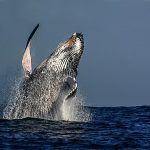 st lucia whale watching (2)