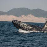 whale watching humpback beaching st lucia