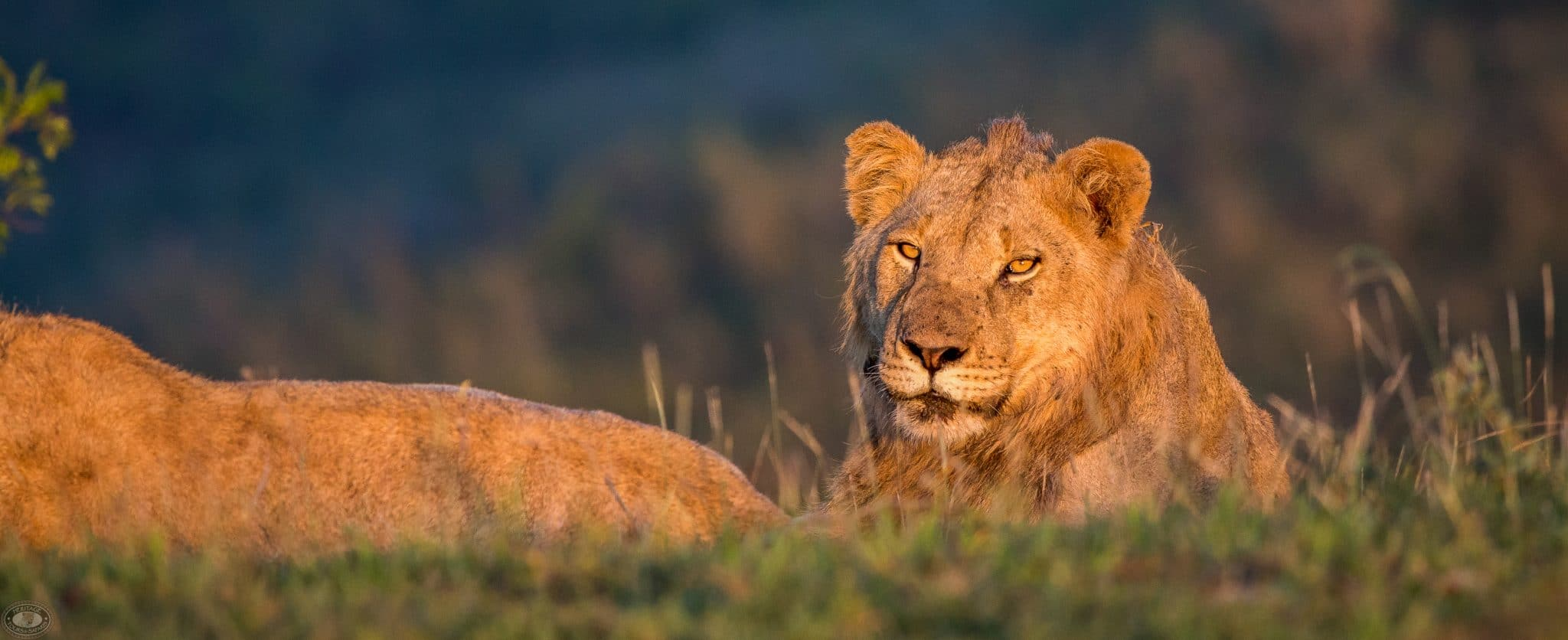 safari sunrise lion