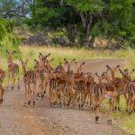 impala wildlife on iphiva walking trail