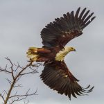 fish eagle sighting on birding tour st lucia