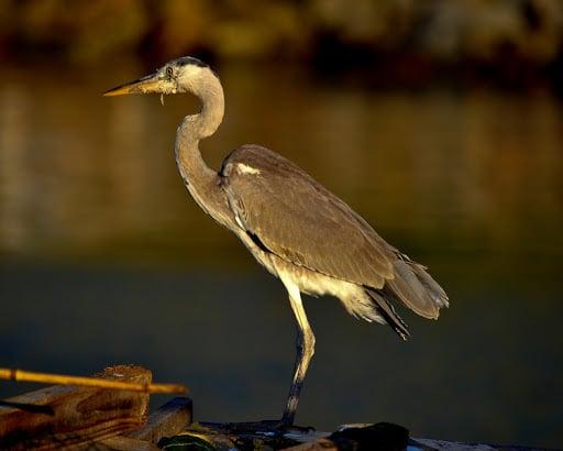 grey heron st lucia bird specie
